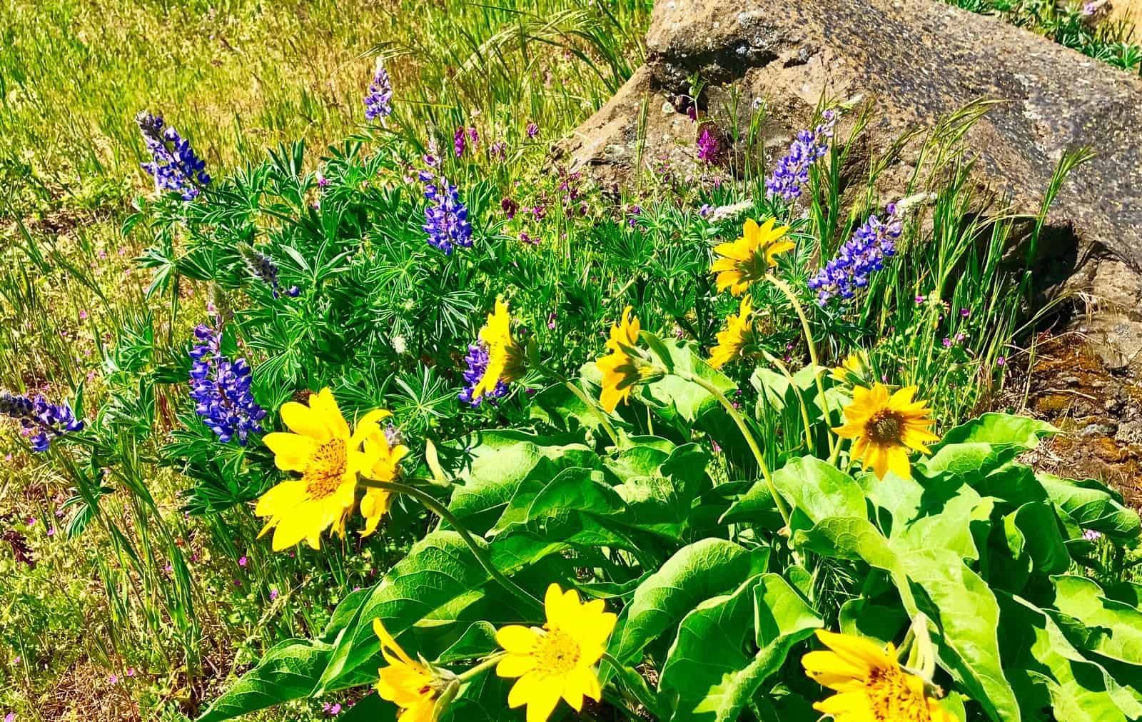 Wild flowers along Columbia Gorge Wine
