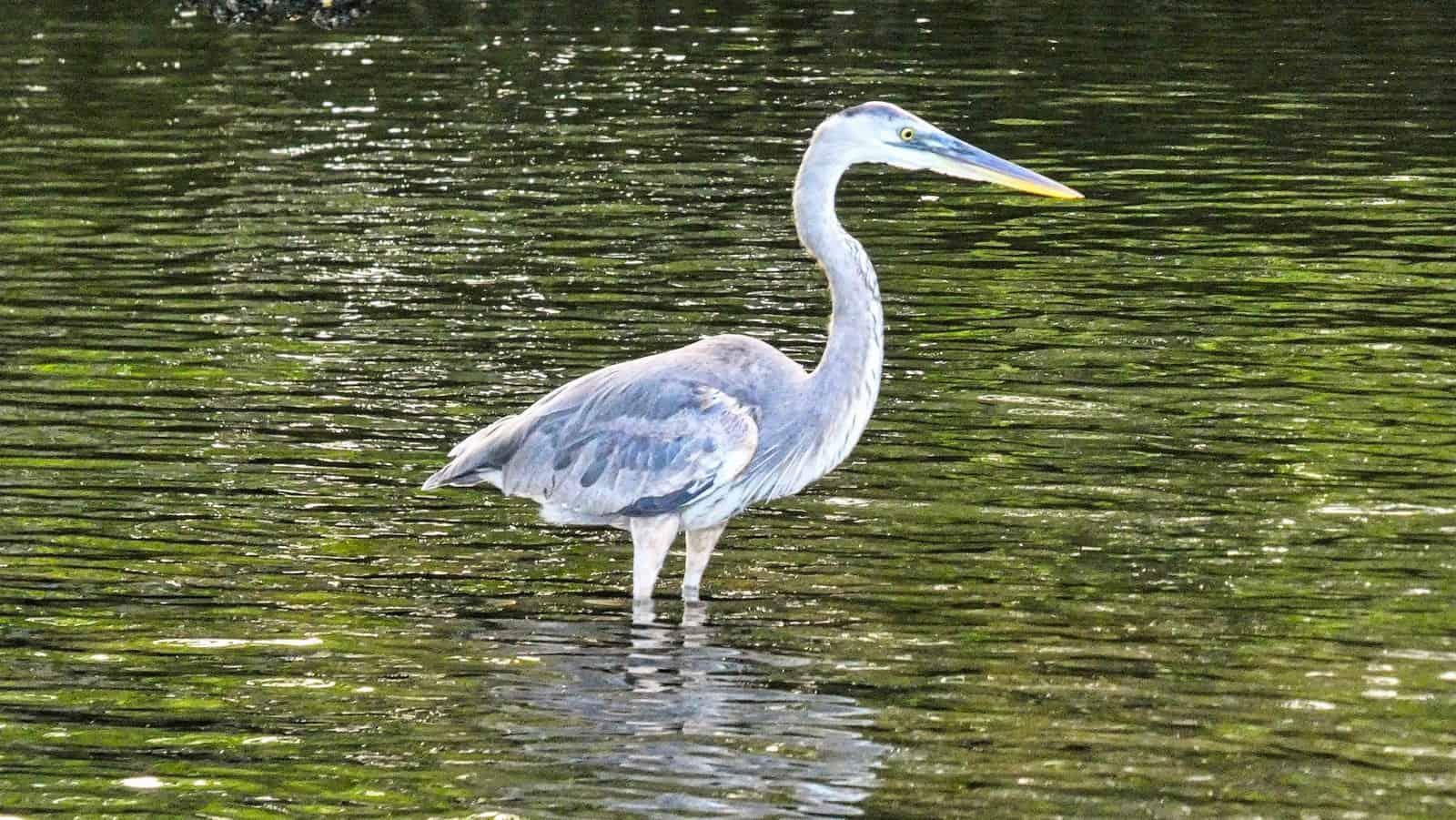 Galapagos blue heron