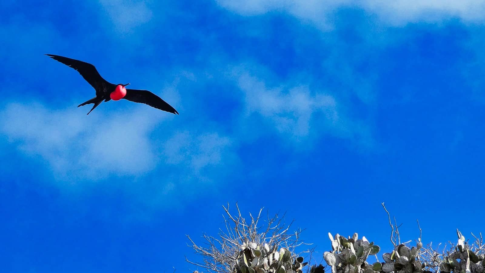 frigatebird male